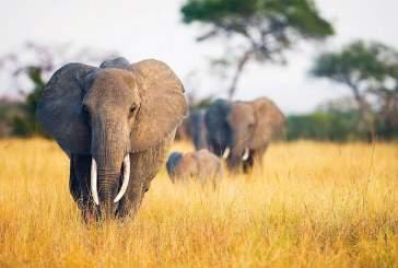 В Кении сожгут крупнейший в мире запас слоновой кости