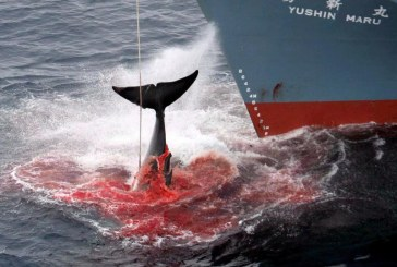 В Японии начался «убойный сезон китов»