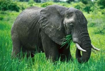 Браконьерство старейших слоних нарушает экосистему тропических лесов