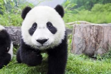 В Китае на свет появился первый в этом году детеныш панды