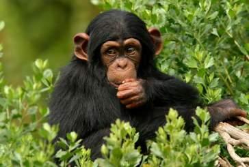 Ученые: быстрый обмен веществ помог человеку стать умнее обезьяны