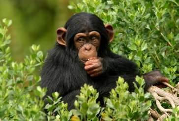 Махали-Маунтинс – рай для шимпанзе