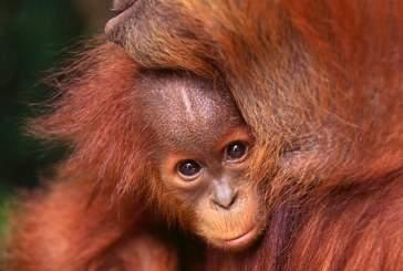 Орангутанги чувствуют вкус, как и человек