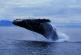 Стремительно растет популяция тихоокеанских китов — ученые