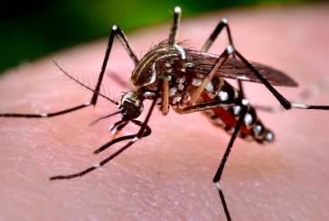 Ученые будут выращивать модифицированных комаров для борьбы с вирусом Зика