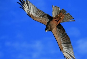 Птицу от охотников спасают… мозги
