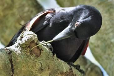 Каледонские вороны самостоятельно делают «инструменты» из веток для поиска пищи
