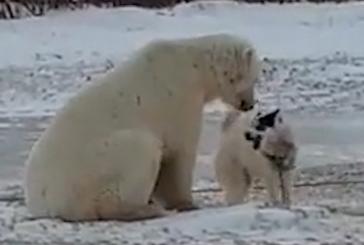 Полярный медведь и собака: видеозапись необычной встречи