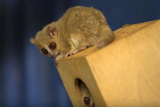 На Мадагаскаре обнаружен новый вид карликовых лемуров