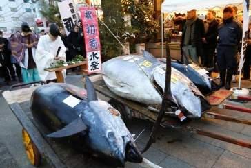 В Японии гигантский тунец весом 405 кг продан за 323 тысячи долларов