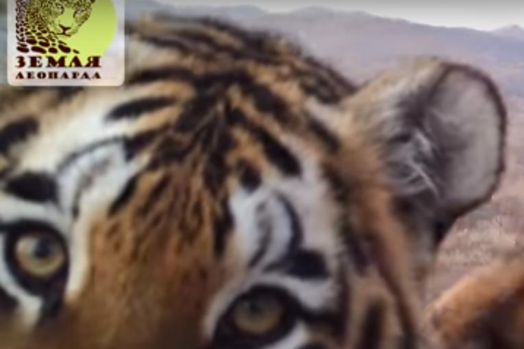 ВПриморье леопард Валера накормил соседей полесу