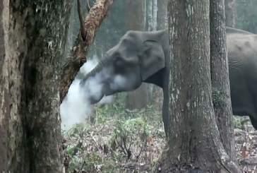 Видео: курящая слониха в индийском парке озадачила ученых