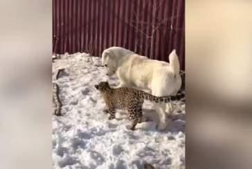 В зоопарке под Владивостоком овчарка взяла «на воспитание» котенка леопарда