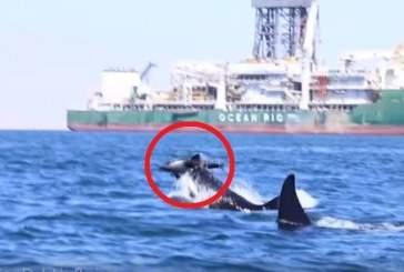 Ученые записали на видео расправу косаток над дельфином