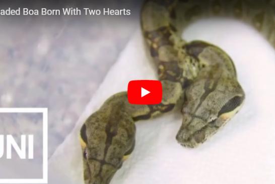 Американский фермер обнаружил двухголовую змею