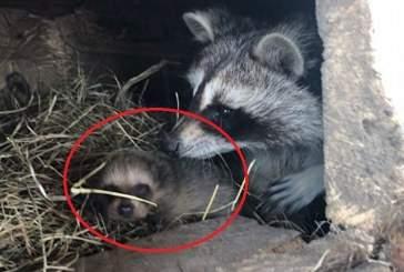Рекордное количество енотов родилось в зоопарке Приморья