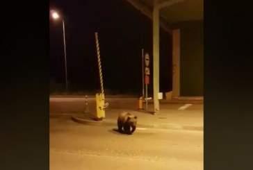 Медведь сломал забор на границе Латвии при попытке попасть в Россию