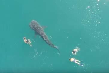 Заплыв туристов с крупнейшей в мире акулой сняли на видео