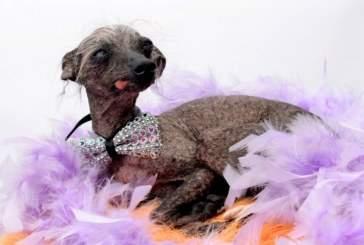Самая уродливая британская собака стала моделью