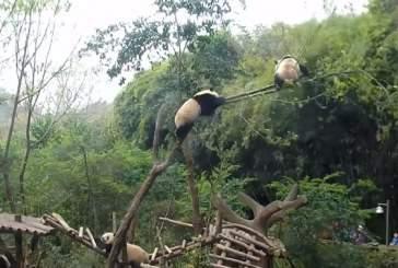 Видео с комичным падением упитанной панды с дерева быстро набирает популярность