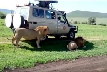 Безрассудный турист едва не лишился руки при попытке погладить льва в ЮАР