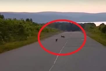 В Башкирии на видео запечатлели играющих на дороге лисиц