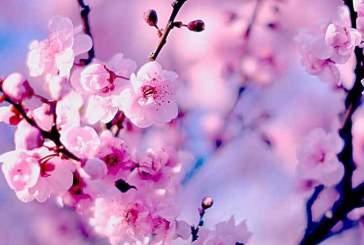 Цветение сакуры — грустный и красивый праздник волшебства