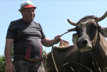 В Болгарии помиловали сбежавшую из Евросоюза в Сербию корову