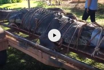 В Австралии поймали гигантского гребнистого крокодила