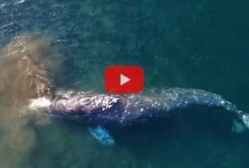 Ученые запечатлели на видео почесывающегося о гальку серого кита
