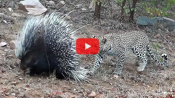 Гость заповедника снял навидео драку леопарда идикобраза