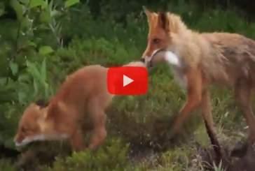 Воспитание потомства лисицей попало на видео