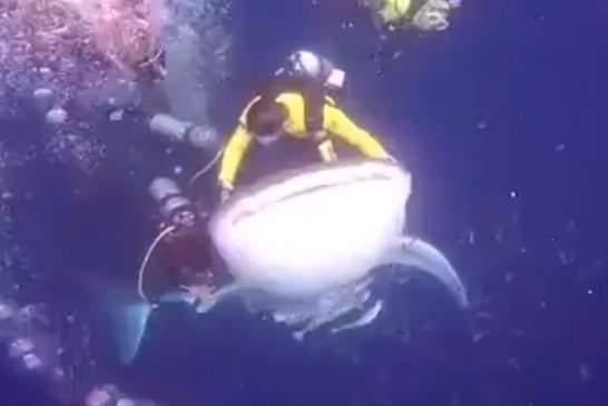 Прокатившихся на китовой акуле дайверов накажут