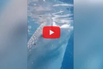 На Филиппинах норвежского дайвера чуть не засосало в пасть китовой акулы