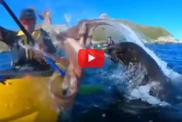 Тюлень бросил в лицо каякера осьминога и попал на видео