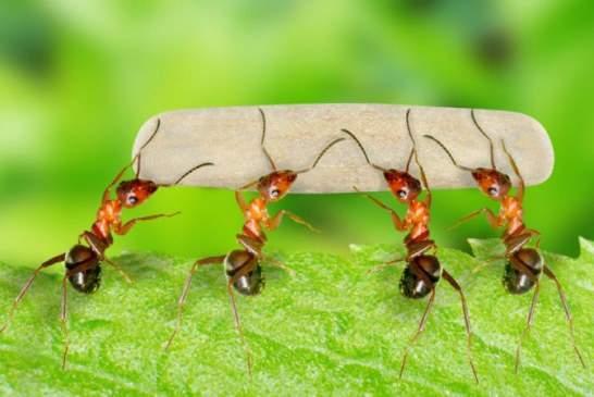 Пользователей удивило видео с несущими огромную змею муравьями