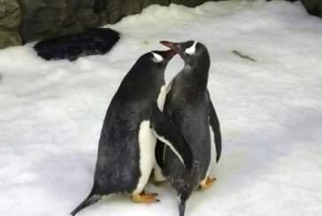 У однополой пары пингвинов в Сиднейском аквариуме родился птенец