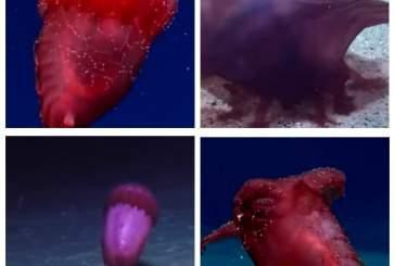 В Тихом океане на фото впервые попал «безголовый куриный монстр»