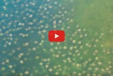 Массовая миграция скатов в США попала на видео