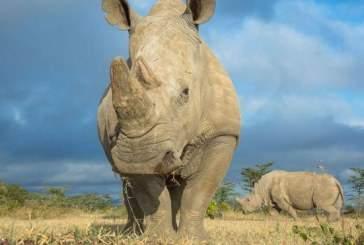 Ученые нашли способ, как спасти северных белых носорогов от вымирания