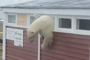 Группа из 20 белых медведей окружила село на Чукотке