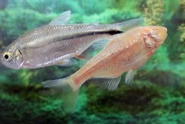 Ученые изучили процесс восстановления сердца у пещерной рыбы