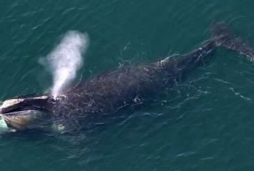 ВМС США ограничили шумовую деятельность для защиты исчезающих видов китов