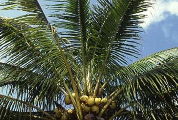 Соединения кокосового масла отпугивают насекомых лучше, чем диэтилтолуамид