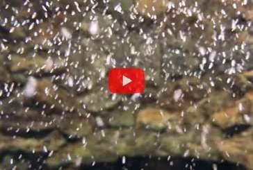 В США на видео запечатлели рождение десятков тысяч осьминогов