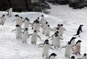 В Антарктиде обнаружили скрывавшихся три тысячи лет пингвинов Адели