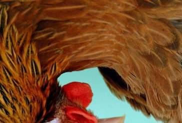 Ученые научились создавать лекарства из куриных яиц