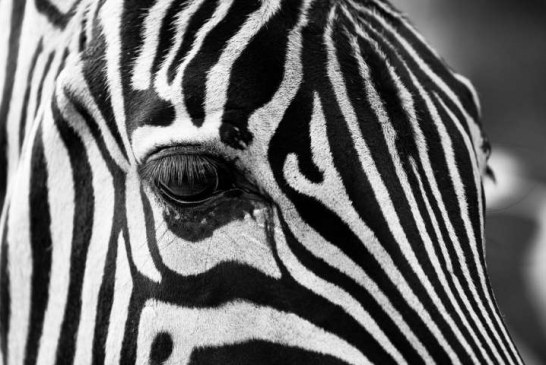 Ученые: копирующая внешность зебры роспись тела снижает укусы слепней в 10 раз