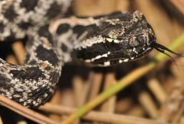 Ученые обнаружили неожиданные различия в яде гремучих змей из одной популяции