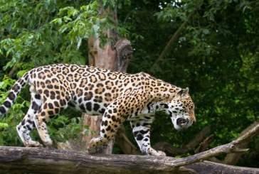 В американском зоопарке ягуар набросился на делавшую селфи посетительницу